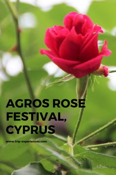 Agros Rose Festival is an annual event happening in Agros Village over two weekends in May and celebrates the village's abundant rose productions. Making Rose Water, Dance Program, Train Tour, Cyprus