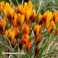 Kultasahrami Orange Monarch - Viherpeukalot