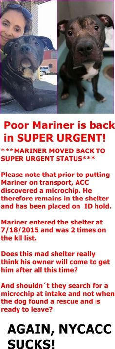 SHOT TO DEATH DUE LUNGING AFTER FOSTER --- FINALLY SAFE 8-12-2015 by Rescue Dogs Rock NYC --- SUPER URGENT Brooklyn My name is MARINER. My Animal ID # is A1044585. I am a male black am pit bull ter. The shelter thinks I am about 1 YEAR 1 MONTH old. I came in the shelter as a STRAY on 07/18/2015 from NY 11233, owner surrender reason stated was BITEPEOPLE. http://nycdogs.urgentpodr.org/mariner-a1044585/