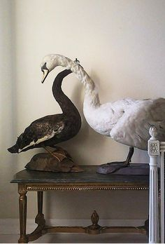 Taxidermy swans on gilded french table home of Marcel Trojanowski.
