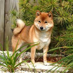 Shiba   Rassen   Honden & Hondenrassen