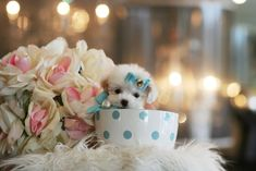 Teacup Poodle Puppies and poodle dogs for sale is our specialty. Find Teacup Poodles and Tiny toy poodle puppies for sale in south florida Maltese Yorkie Puppy, Teacup Poodle Puppies, Tiny Toy Poodle, Tea Cup Poodle, Little Puppies, Little Dogs, Dogs And Puppies, Cute Small Dogs, Cute Dogs
