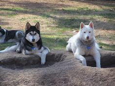 What hole? Innocent Siberian Huskies.--Oh them holes never end! Haha Just lobe 'em though. :)