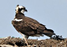 The osprey are back on Cape Cod by sailingmusic