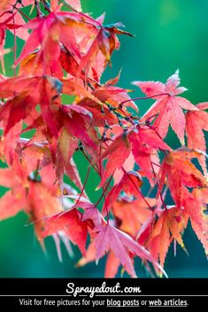 Free Picture : Red Leaves of a Maple Leaf Tree in Autumn Fall Leaves Pictures, Fall Pictures, Nature Images, Nature Pictures, Beautiful Pictures, Red Leaves, Autumn Leaves, Maple Leaf Tree, Autumn Photography