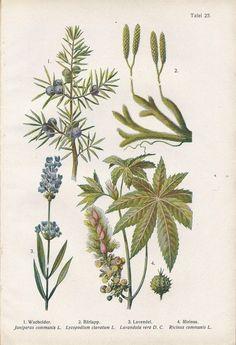 Image result for juniper berry vintage