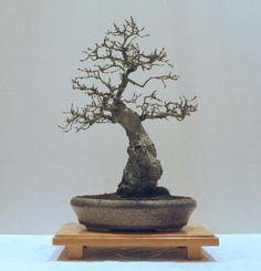 5 X European Hornbeam Carpinus betulus bonsai trees best offer PP Live Aquarium, Planted Aquarium, Silver Fir, Pre Bonsai, Popular Tree, Bonsai Tree Types, Pond Plants, Chestnut Horse, Rowan