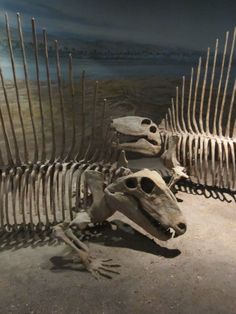 Dimetrodon. Contrary to popular belief, dimetrodon is not a dinosaur. It lived before the Triassic era during the Permian era and is actually closer to mammals.