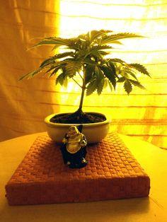 Cannabis Bonzai