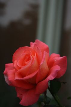 Hybrid Tea Rose: Rosa 'Folklore' (Germany, 1977)