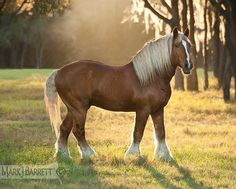 Belgian Draught (American type) stallion