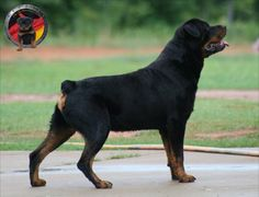 DKV Rottweilers