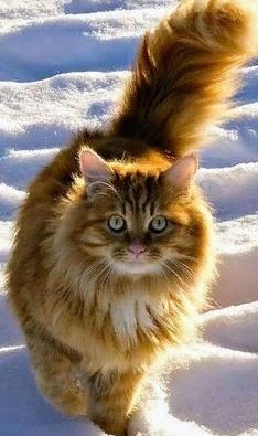 - Majestic Norwegian Forest Cat… Click the photo for more! Majestic Norwegian Forest Cat… Click the photo for more! Cute Cats And Kittens, Cool Cats, Kittens Cutest, Ragdoll Kittens, Funny Kittens, Tabby Cats, Bengal Cats, Pretty Cats, Beautiful Cats