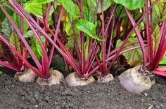 Most experts would agree that a regular colon cleanse program can ensure a better way of living. They believe that other forms of colon cleansing such as colon Gardening For Beginners, Gardening Tips, Beet Recipes, Red Beets, Home Vegetable Garden, Planting Vegetables, Veggies, Small Farm, Growing Herbs