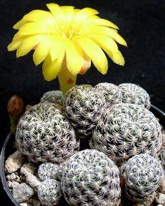 Sulcorebutia langeri Small Cactus, Cactus Flower, Succulent Images, Cactus Planta, Agaves, Desert Plants, Exotic Plants, Blooming Flowers, Cacti And Succulents