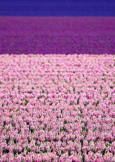 furples:    Dutch flower fields