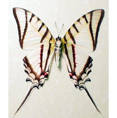Candy Stripe swallowtail.