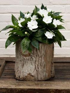 Tuinbloeier Vlijtig Liesje werkt de hele zomer aan mooie bloemen. #mwpd #planten #tuinbloeiers