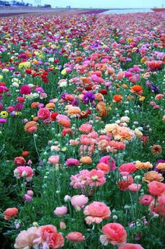 Latest Absolutely Free Ranunculus garden Popular In the event that its heyday light sources is one of nature's secrets, looking at the claw-like tuber of a Wild Flowers, Beautiful Flowers, Field Of Flowers, Bouquet Flowers, Spring Flowers, Sweet Pea Flowers, Ranunculus Flowers, Meadow Flowers, Unusual Flowers