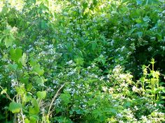 This blackberry is just past the first!  There are just soooo many flowers on them all!
