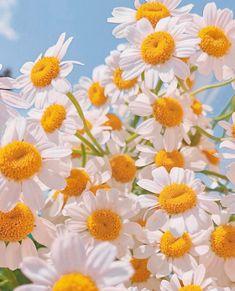 Sunflower Iphone Wallpaper, Daisy Wallpaper, Wallpaper Nature Flowers, Wallpaper Backgrounds, Amazing Flowers, Beautiful Flowers, Minimal Wallpaper, Flower Aesthetic, Art For Art Sake