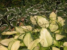 """Which Hostas Can Grow in the Sun?  Hostas Demonstrating Full Sun Tolerance Potential (from The American Hosta Society & Hosta gardeners) See my """"Comment"""" below or click the pin for the Sun tolerating Hosta. There are two clear signs that tell you your Hosta is getting too much sun: 1.Browning on the tips or outside edges of leaves 2.Dull color or faded spots on leaves"""