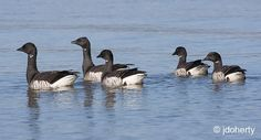 Swimming Brent geese