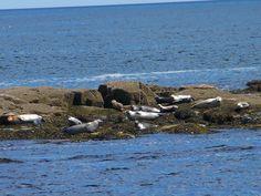 Seals on the Atlantic Ocean