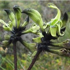 Yeah it's real! Black furry buds open to green flowers in this wonderful native kangaroo paw. A little tricky in subtropical gardens but worth the effort - and very rewarding in dry zone climates. Fast Flowers, Green Flowers, Summer Flowers, Foliage Plants, Cactus Plants, White Agapanthus, Low Growing Ground Cover, Bush Garden, Kangaroo Paw