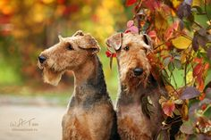 Airedale Terriers...BEAUTIFUL Photo...