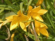 """Hemerocallis citrina - Wikipedia. Also known as citron daylily and long yellow day lily. The tubers, inflorescences, buds and flowers can all be cooked and eaten. Dried or fresh flowers are used in Chinese, Japanese, Korean, Thai, and Vietnamese cooking, and are known as """"golden needles"""". #edible"""