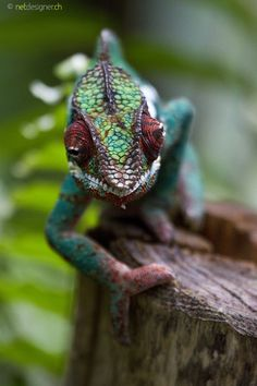 Panther Chameleon Photo by Daniel Münger Wildlife Photography, Animal Photography, Animals Beautiful, Cute Animals, Chameleon Tattoo, Komodo Dragon, Little Critter, Reptiles And Amphibians, Exotic Birds