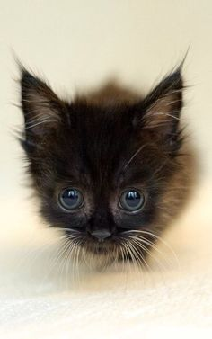 Sweet portrait of tiny, black kitten! photo by Greg Forcey, 2011.