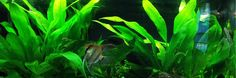 10 Best Freshwater Aquarium Plants for Beginners (Amazon Sword, a Midground Plant for Freshwater Aquariums)