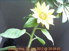Imposant! Die wunderbare Webcam-Sonnenblume strahlt auch bei Regenwetter!