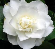 Fifth Avenue White Camellia Japonica