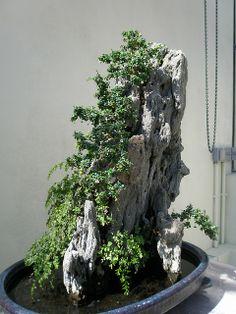 RK:Fukien Tea Bonsai | Flickr - Photo Sharing!