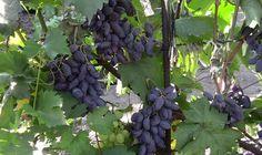 Виноград Байконур – описание сорта, отзывы о выращивании этой гибридной формы на участке + Видео