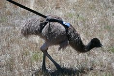 The emu breeder recommended halter training so, with a couple of dog halters from the pet shop, Michael went to work. Description…