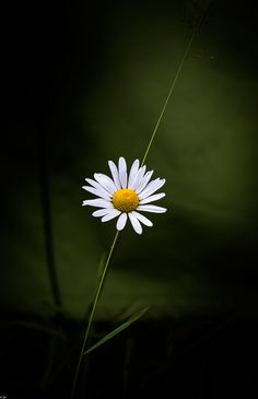 Wild camomile - Wild camomile. Lot of snow in Siberia this right time to remember summer flowers.