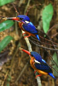 Blue-eared kingfisher. The usual habitat is pools or streams in dense evergreen ...