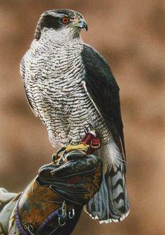 "Cachet (UK) Ltd ""Goshawk"" Bird of Prey Greeting Card All Birds, Birds Of Prey, Love Birds, Beautiful Birds, Animals Beautiful, British Wildlife, Wildlife Art, Northern Goshawk, Hawk Bird"