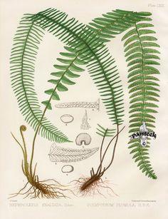 PANTEEK: Eaton Antique Prints of Ferns 1879