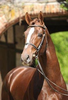 Floriscount - Liver chestnut Oldenburg stallion