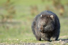 Common Wombat Facts | Course-haired Wombats | Australian Marsupials
