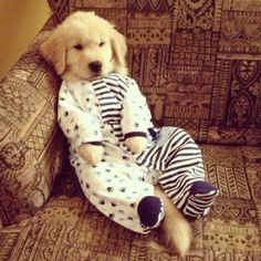 cute golden retriever puppy dressed in pyjamas