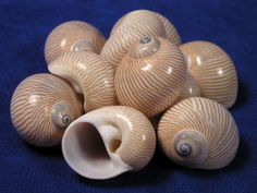 Natica Lineata Sea Shells  - these are very popular with my ecuadorian hermit crabs - just wish I could get the right sizes!