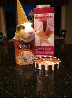 Stuff my guinea pig does all of these are funny