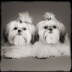 Two beautiful and perfectly groomed Shih-tzus