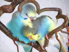 "Budgerigars had the title of 'Love Birds' before the Agapornis hit the p… Wellensittiche hatten den Titel ""Liebesvögel"". Funny Birds, Cute Birds, Pretty Birds, Beautiful Birds, Animals Beautiful, Budgies Parrot, Budgie Parakeet, Parakeets, Parrots"